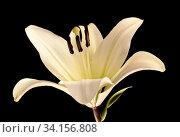 White lily isolated on black background. Стоковое фото, фотограф Tamara Kulikova / Фотобанк Лори