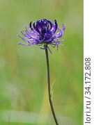Купить «Round-headed rampion (Phyteuma orbiculare), locally rare plant, Epsom Downs, Surrey, England, June.», фото № 34172808, снято 2 августа 2020 г. (c) Nature Picture Library / Фотобанк Лори