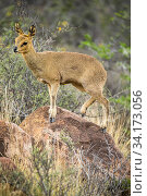Klipspringer (Oreotragus oreotragus) standing on a rock, Karoo National Park, Western Cape, South Africa. Стоковое фото, фотограф Houdin and Palanque / Nature Picture Library / Фотобанк Лори