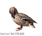 Купить «Птицы. Кряква (дикая утка) чистит перышки. Изолировано на белом фоне», фото № 34179920, снято 11 июля 2020 г. (c) E. O. / Фотобанк Лори