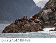 Steller sea lions (Eumetopias jubatus) hauled out on Inian Island, Alaska, USA. August. Стоковое фото, фотограф David Hall / Nature Picture Library / Фотобанк Лори