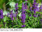 Шалфей лекарственный Salvia officinalis. Стоковое фото, фотограф Татьяна Белова / Фотобанк Лори