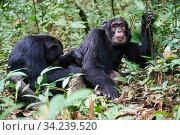 Chimpanzee (Pan troglodytes schweinfurthii) males grooming, Kibale National Park, Uganda, Africa. Стоковое фото, фотограф Eric Baccega / Nature Picture Library / Фотобанк Лори