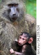 Купить «Olive baboon (Papio hamadryas anubis) baby with its mother, Kibale National Park, Uganda, Africa», фото № 34239524, снято 3 августа 2020 г. (c) Nature Picture Library / Фотобанк Лори