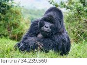 Mountain gorilla (Gorilla beringei beringei) silverback male, portrait, member of the Nyakagezi group, Mgahinga National Park, Uganda. Стоковое фото, фотограф Eric Baccega / Nature Picture Library / Фотобанк Лори