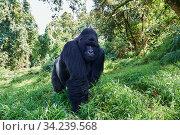 Mountain gorilla (Gorilla beringei beringei) silverback male, member of the Nyakagezi group, Mgahinga National Park, Uganda. Стоковое фото, фотограф Eric Baccega / Nature Picture Library / Фотобанк Лори