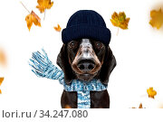 Sausage dachshund dog waiting for owner to play and go for a walk with leash, isolated on white background in autumn or fall with leaves and windy. Стоковое фото, фотограф Zoonar.com/Javier Brosch / age Fotostock / Фотобанк Лори
