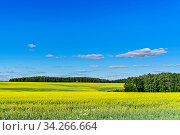 Поле с рапсом, лес, облака, солнечный свет на голубом небе в июне во второй половине летнего дня. Стоковое фото, фотограф Владимир Устенко / Фотобанк Лори