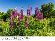 Люпин многолистный (лат. Lupinus polyphyllus) Стоковое фото, фотограф Литвяк Игорь / Фотобанк Лори