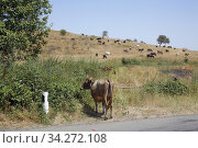 Cows on the road in Nagorno Karabakh. After the war with Azerbadjan. Photo: André Maslennikov. Стоковое фото, фотограф Andre Maslennikov / age Fotostock / Фотобанк Лори