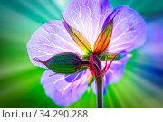 Wiesenstorchenschnabel (Geranium Pratense) auch Blaues Schabelkraut genannt, auf einer Blumenwiese bei Sonnenschein aufgnommen. Стоковое фото, фотограф Zoonar.com/Ralf Bitzer / easy Fotostock / Фотобанк Лори