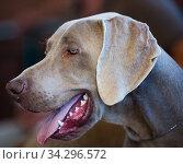 thoroughbred beautiful English Toy Terrier dog. Стоковое фото, фотограф Татьяна Яцевич / Фотобанк Лори