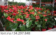 Calla blooming plants are sold in modern flower supermarket. Стоковое видео, видеограф Яков Филимонов / Фотобанк Лори