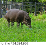 South American tapir (Tapirus terrestris) eats from bowl in grass. Стоковое фото, фотограф Валерия Попова / Фотобанк Лори