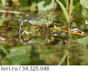 Emperor dragonfly / Blue emperor (Anax imperator) female standing on pond vegetation while dipping her abdomen into the water to lay eggs on submerged stems, Wiltshire, UK, May. Стоковое фото, фотограф Nick Upton / Nature Picture Library / Фотобанк Лори