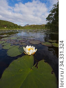 Купить «White water lily (Nymphaea alba) growing in Lochan in Inverpolly National Nature Reserve, NW Scotland, UK. June», фото № 34331324, снято 1 августа 2020 г. (c) Nature Picture Library / Фотобанк Лори