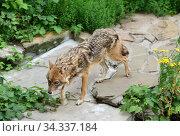 Golden jackal (Canis aureus) runs in summer. Стоковое фото, фотограф Валерия Попова / Фотобанк Лори