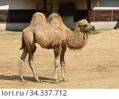 Domestic bactrian camel (Camelus bactrianus). Calf. Стоковое фото, фотограф Валерия Попова / Фотобанк Лори