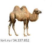 Domestic bactrian camel (Camelus bactrianus). Calf on white background. Стоковое фото, фотограф Валерия Попова / Фотобанк Лори
