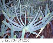 Aloe Heilpflanze in der Wüste. Стоковое фото, фотограф Zoonar.com/Dr. Norbert Lange / easy Fotostock / Фотобанк Лори