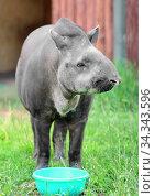 South American tapir (Tapirus terrestris). Elderly female. Focus on face. Стоковое фото, фотограф Валерия Попова / Фотобанк Лори
