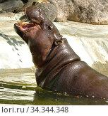 Pygmy hippopotamus (Choeropsis liberiensis) showing its teeth. Стоковое фото, фотограф Валерия Попова / Фотобанк Лори