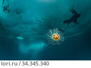 Benthic hydrozoan (Ptychogastria polaris) in front of iceberg. Tasiilaq, East Greenland. April. Стоковое фото, фотограф Franco  Banfi / Nature Picture Library / Фотобанк Лори