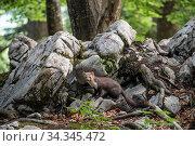 Pine marten (Martes martes) amongst rocks, Sneznik forest, Slovenia. June. Стоковое фото, фотограф Franco  Banfi / Nature Picture Library / Фотобанк Лори
