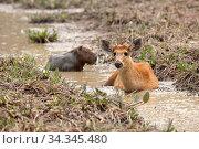 Marsh deer (Blastocerus dichotomus) and Capybara (Hydrochaeris hydrochaeris) resting in stream, Pantanal, Mato Grosso, Brazil. Стоковое фото, фотограф Franco  Banfi / Nature Picture Library / Фотобанк Лори
