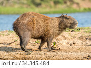 Capybara female (Hydrochoerus hydrochaeris) Mato Grosso do Sul, Brazil. Стоковое фото, фотограф Franco  Banfi / Nature Picture Library / Фотобанк Лори