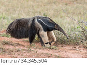 Giant anteater (Myrmecophaga tridactyla) Formoso River, Bonito, Mato Grosso do Sul, Brazil. Стоковое фото, фотограф Franco  Banfi / Nature Picture Library / Фотобанк Лори