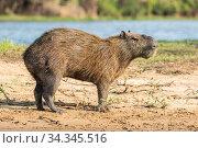 Capybara male (Hydrochoerus hydrochaeris) Pantanal, Mato Grosso do Sul, Brazil. Стоковое фото, фотограф Franco  Banfi / Nature Picture Library / Фотобанк Лори