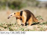 Southern anteater (Tamandua tetradactyla) Formoso River, Bonito, Mato Grosso do Sul, Brazil. Стоковое фото, фотограф Franco  Banfi / Nature Picture Library / Фотобанк Лори