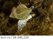True whelk sea snail (Buccinum sp) on rock. Tasiilaq, East Greenland. April. Стоковое фото, фотограф Franco  Banfi / Nature Picture Library / Фотобанк Лори
