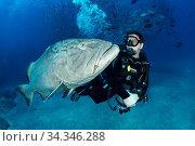 Scuba diver with big Gulf grouper (Mycteroperca jordani), Cabo Pulmo Marine National Park, Baja California Sur, Mexico. Редакционное фото, фотограф Franco  Banfi / Nature Picture Library / Фотобанк Лори