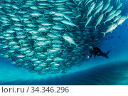 Scuba diver swimming with a big shoal of Big-eye jacks (Caranx sexfasciatus), Cabo Pulmo Marine National Park, Baja California Sur, Mexico. Стоковое фото, фотограф Franco  Banfi / Nature Picture Library / Фотобанк Лори