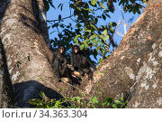 Black-handed spider monkey (Ateles geoffroyi) two in a tree, Amazon, Brazil. June. Стоковое фото, фотограф Suzi Eszterhas / Nature Picture Library / Фотобанк Лори
