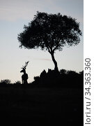 Red deer stag (Cervus elaphus) and a Holm oak tree (Quercus ilex) silhouetted Parque Natural Sierra de Andujar, Andalucia, Spain. January. Стоковое фото, фотограф Staffan Widstrand / Nature Picture Library / Фотобанк Лори