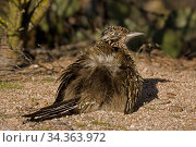 Greater roadrunner (Geococcyx californianus) sunbathing. On a cool morning they spread the feathers on their backs allowing the sun to strike the dark skin below. Arizona, USA, February. Стоковое фото, фотограф John Cancalosi / Nature Picture Library / Фотобанк Лори