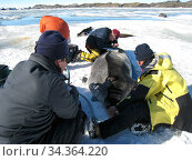 Placement of a tracker on a Weddell seal (Leptonychotes weddellii) in Ellis Fjord, Vestfold Hills, Antarctica, March 2007. Стоковое фото, фотограф Fred Olivier / Nature Picture Library / Фотобанк Лори