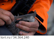 Scientist measuring Antarctic Skua chick (Stercorarius antarcticus) at Dumont d'Urville Station , Antarctica, January 2013. Стоковое фото, фотограф Fred Olivier / Nature Picture Library / Фотобанк Лори