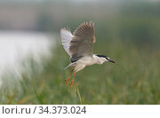 Black-crowned night heron (Nycticorax nycticorax) landing at the reedbed colony with a stick in its beak. Los Rodells Nature Reserve, Ebro Delta, Catalonia, Spain. Стоковое фото, фотограф Roger Powell / Nature Picture Library / Фотобанк Лори