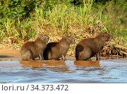Capybaras (Hydrochoerus hydrochaeris) on river bank in the Pantanal wetlands region. Brazil, South America. Стоковое фото, фотограф Brandon Cole / Nature Picture Library / Фотобанк Лори