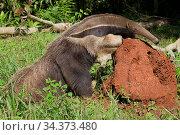 Giant anteater (Myrmecophaga tridactyla), Captive specimen examining termite mound, Reserva Ecologica Baia Bonita, Bonito, Brazil, South America. Стоковое фото, фотограф Brandon Cole / Nature Picture Library / Фотобанк Лори