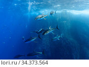 Yellowfin tuna (Thunnus albacores), large (1.2 meter long) males with spawning coloration and banded pattern chasing females, just before they release... Стоковое фото, фотограф Brandon Cole / Nature Picture Library / Фотобанк Лори