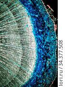 Lärche Stamm Querschnitt unter dem Mikroskop 100x. Стоковое фото, фотограф Zoonar.com/Dr. Norbert Lange / easy Fotostock / Фотобанк Лори