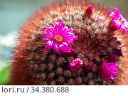 Blooming small home cactus in a flower pot. Bright pink flower near a thorny cactus on the windowsill. Стоковое фото, фотограф Екатерина Кузнецова / Фотобанк Лори