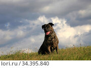Dog breed cane corso in nature on a sunny summer day. Стоковое фото, фотограф Яна Королёва / Фотобанк Лори