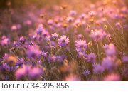Wild pink flowers of the Crimean fields in the evening light, floral background. Стоковое фото, фотограф Яна Королёва / Фотобанк Лори