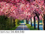 Allee von blühenden Kirschbäumen im Frühling in der Innenstadt von... Стоковое фото, фотограф Zoonar.com/Heiko Kueverling / easy Fotostock / Фотобанк Лори